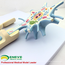 Enlarge 2500x Life Size 2 Parts Neuron Model, Anatomy Models > Brain Models 12412