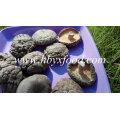 Champignons shiitake entiers séchés lisses