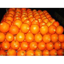 Fornecedor China Fresh Mandarin Orange