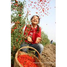 Getrocknete Goji Beeren / Bio Goji Beeren / Chinesische Wolfberry