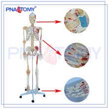 PNT-0103N modèle de squelette de luxe numéroté avec ligament et muscles, enseignement médical