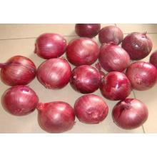 Cebola fresca fresca da colheita nova (5-8CM)