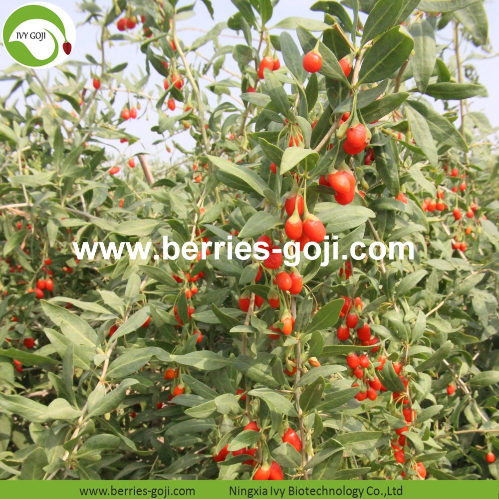 Improve Eyesight Malaysia Goji Berry