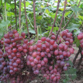 Seeded Grape Variety and Purple Color fresh red globe grape