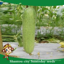 Suntoday grüne Gemüse Power Hybrid F1 Bio Pflanzer für Gewächshaus Gurkensamen