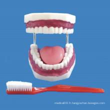 Soins infirmiers 32 Modèle de dents de taille moyenne pour démonstration