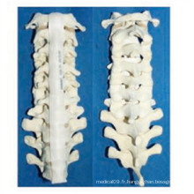 Modèle de squelette de la vertébrale humaine médicale (R010109)