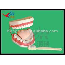 HR-403A New Style School Les dents de démonstration pédagogiques et les modèles dentaires (32 dents)