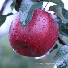 tianshui huaniu apples gansu huaniu apples red apple