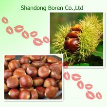 La Mejor Calidad Chestnut Chino