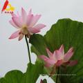 Bulk lotus honey for sale