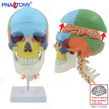ПНТ-1154C пластика человека 8 частей Съемная мозг цветная модель черепа