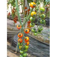 TY03 Huangjin f1 hybride runde gelbe Kirschtomate sät Gewächshauspflanzen