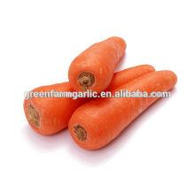 Frischer Karotten-Export in den Nahen Osten