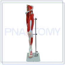 ПНТ-0332 Размер жизнь модель человека мышцы ноги