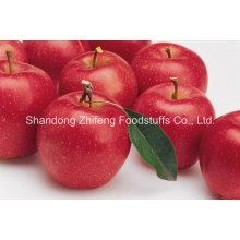 Chinese Fresh Red Delicious Apple