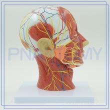 PNT-1631 modelo anatômico de cabeça humana para hospital