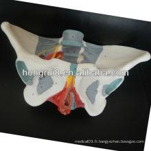 Modèle pelvien ISO, modèle de pélvis femelle adulte