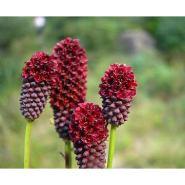 Garden Burnet Extract Treating Breast Cancer