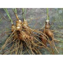 Langehead Atractylodes Extracto de rizoma