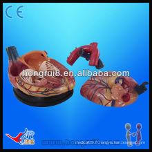 Modèle de coeur médical anatomique humain de haute qualité à vendre modèle nouveau style à 4 fois agrandie