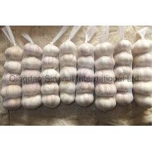 Pure White Garlic New Crop 2016