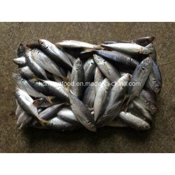 (14-18PCS / kg) Скумбрия новой рыбы японская для сбывания