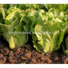 LT04 Caiquan heat resistant green lettuce seeds for sale