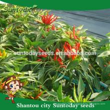 Suntoday easy management green red upper hot pepper up chilli seeds sale(22003)