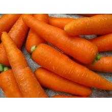 Zanahoria fresca para la exportación
