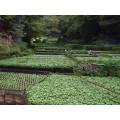 Vente chaude wasabi épicé vert 500g, 1kg, 30g
