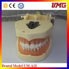 Standard 28 Teeth Dental Tooth Model