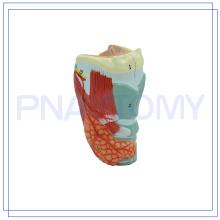 PNT-0441 modelo de laringe humana tamanho natural