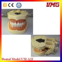 Dental Care Product Dental Model for Study