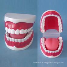 Soins infirmiers 32 Modèle de dents de petite taille pour l'enseignement