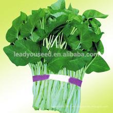 WS01 Daye semillas de espinaca de agua de hojas grandes para plantar