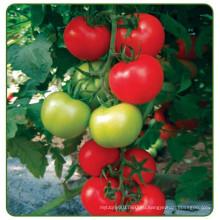 RT20 Jinshun гибрид высокой урожайностью в F1 индетерминантный семена томата для теплицы