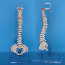 Menschliche Wirbelsäule Skelett Struktur Modell für medizinische Lehre (R020707)