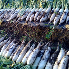HR13 Zangai branco resistente ao calor F1 sementes de rabanete híbrido