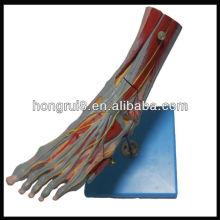 ISO Músculos do Pé com Vasos e Nervos Principais, modelo de anatomia do pé (modelo de anatomia muscular)