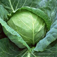 HC40 Чжун морозостойкие,круглые, темно-зеленый гибрид F1 капусты семена