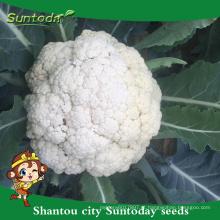 Suntoday não comestíveis importadores vegetais frescos vegetais em singapor herança F1 bangladesh sementes vegetais de couve-flor (A41005)