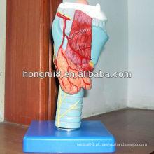 Modelo anatômico da Laringe ISO, modelo da Laringe Médica, modelo de garganta