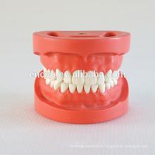 28pcs Screw Fixed Teeth Hard Gum Standard Dental Model 13002