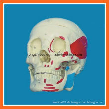 Leben-Größe menschliches muskulöses Schädel-Modell für Verkauf