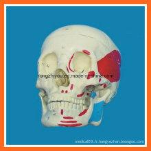 Modèle de crâne musculaire humain à la taille de vie à vendre