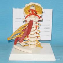 Modèle humain naturel de la colonne vertébrale cervical avec muscle et nerf