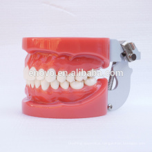Standard Dental Teeth Models with 28pcs Removable Teeth Fixed by Wax 13001