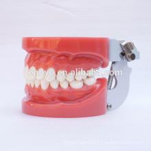 Modelos de dentes dentários padrão com 28pcs dentes removíveis fixados por cera 13001