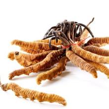 Cordyceps sinensis dongchong xiacao de calidad superior